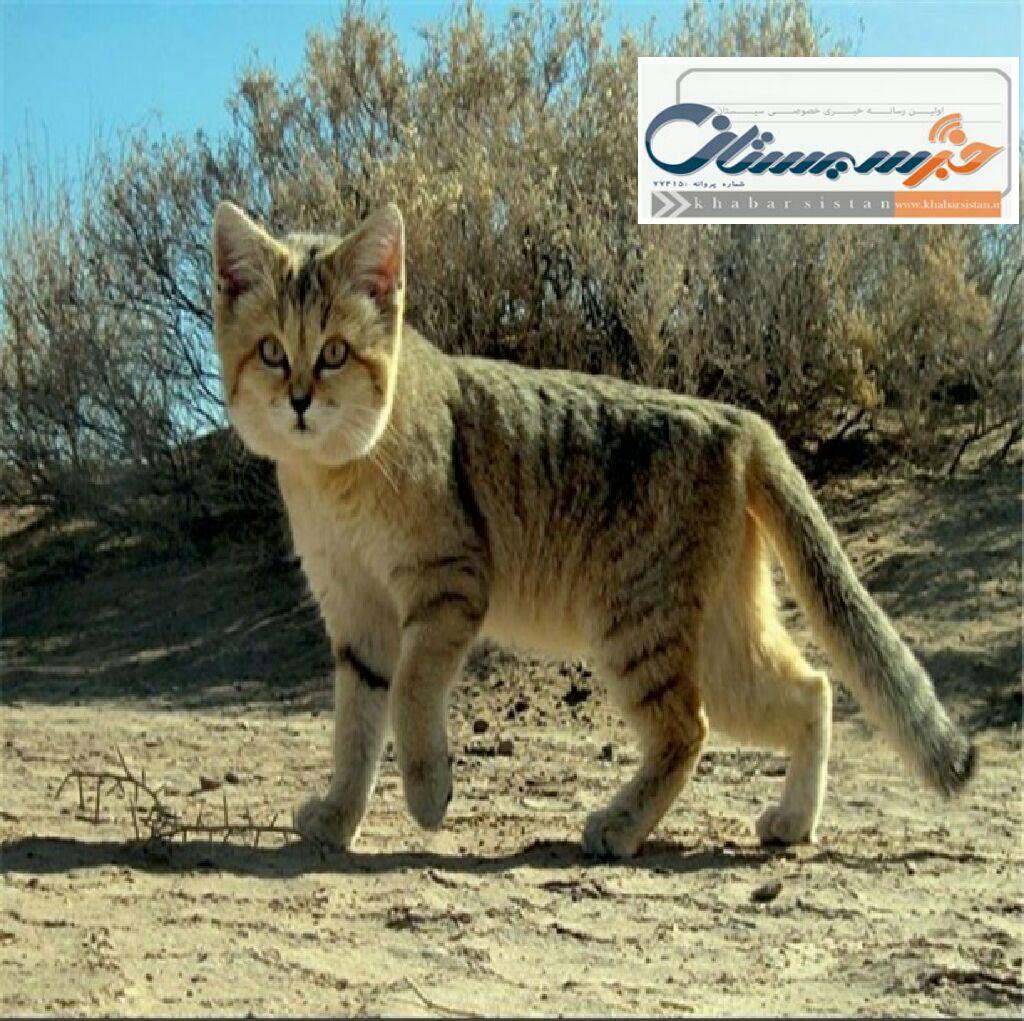 شناسایی بیش از ۳۰ گربه شنی در شهرستان ایرانشهر